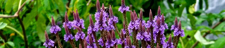 Native Nectar Plant- Vervain P.Wolfe